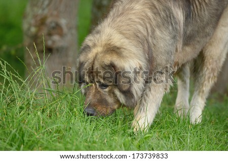 Caucasian Shepherd Dog Owtscharka sniffing in grass - stock photo