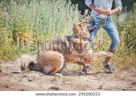 Caucasian shepherd dog playing with man - stock photo