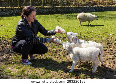 Caucasian woman in welsh field feeding two newborn lambs with milk from feed bottles with sheep in background - stock photo
