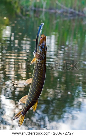 caught pike in the lake - stock photo