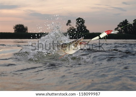 caught towage  on large pike's wobler  in river - stock photo