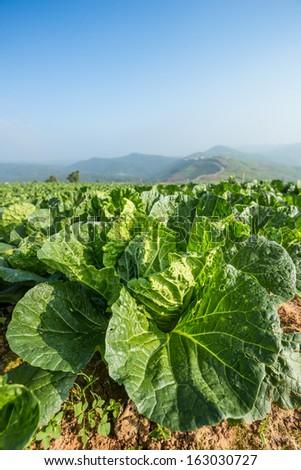 cauliflower field - stock photo