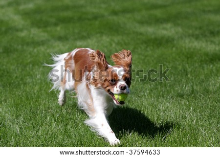 Cavalier King Charles playing - stock photo
