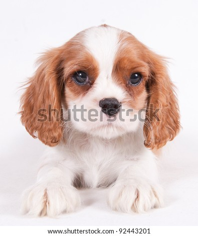 Cavalier King Charles puppy in front of a white background - stock photo