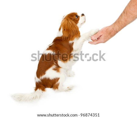 Cavalier King Charles Spaniel dog against a white backdrop shaking the hand of a person - stock photo