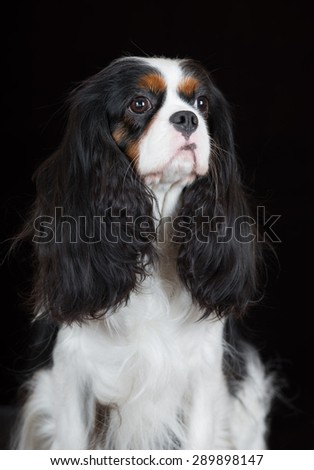cavalier king charles spaniel dog portrait on black - stock photo