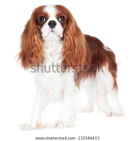 cavalier king charles spaniel dog standing - stock photo