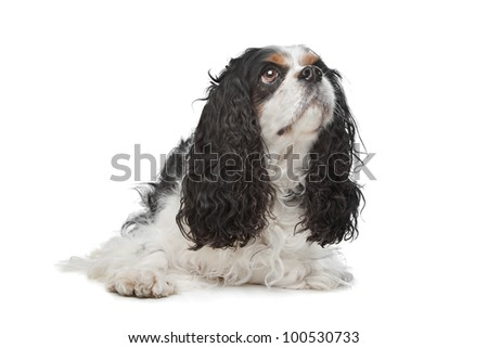 Cavalier King Charles Spaniel in front of a white background - stock photo