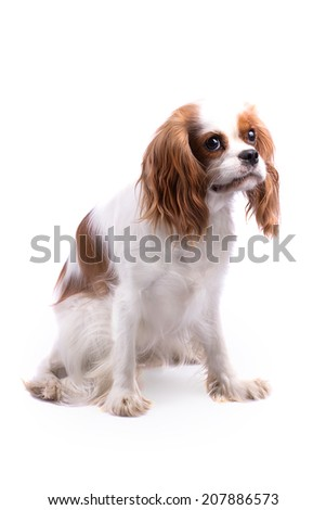Cavalier King Charles Spaniel, Looking Right - stock photo
