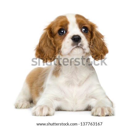 Cavalier King Charles Spaniel lying down, isolated on white - stock photo