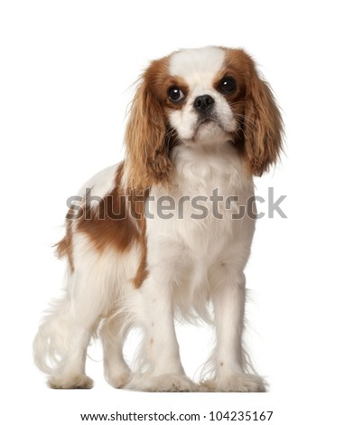 Cavalier King Charles Spaniel, 10 months old, standing against white background - stock photo
