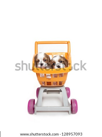 Cavalier King Charles Spaniel puppies in a a shopping trolley toy, cavalier king charles puppies - stock photo