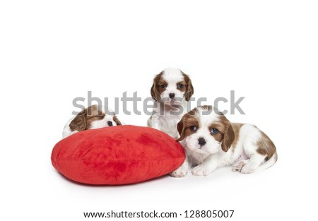 Cavalier King Charles Spaniel puppies with red plush heart pillow,Cavalier King Charles Spaniel puppies - stock photo