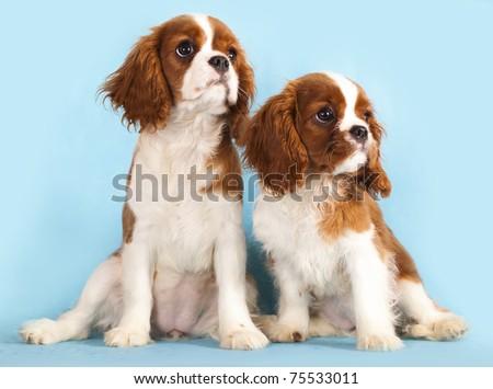 Cavalier King Charles Spaniel puppy - stock photo