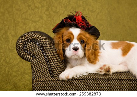 Cavalier King Charles Spaniel puppy lying down on chaise couch sofa wearing black and red hat on green background  - stock photo