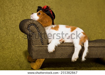 Cavalier King Charles Spaniel puppy lying down on chaise couch sofa wearing black hat on green background  - stock photo
