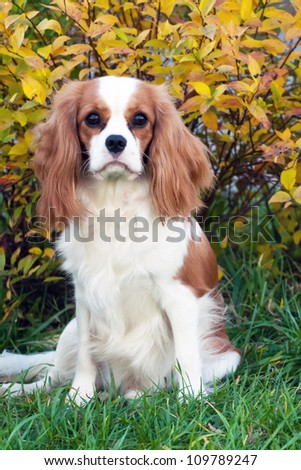 Cavalier King Charles Spaniel, sitting in front of bush, covered yellow leaves. - stock photo