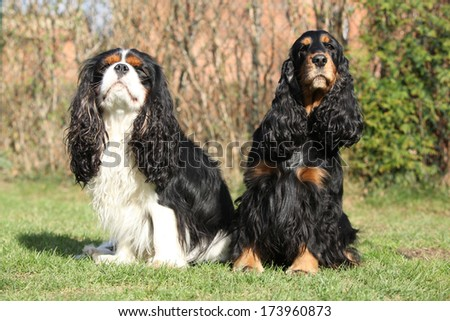 Cavalier King Charles Spaniel with English Cocker Spaniel sitting together in the garden - stock photo