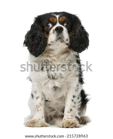 cavalier king charles spaniel (5 years old) - stock photo