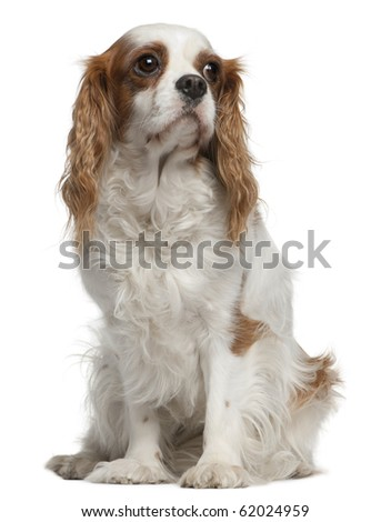 Cavalier king Charles spaniel, 4 years old, sitting in front of white background - stock photo