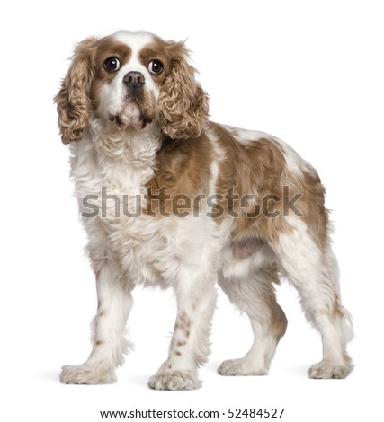 Cavalier King Charles Spaniel, 7 years old, standing in front of white background - stock photo