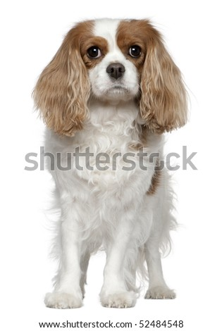 Cavalier King Charles Spaniel, 4 years old, standing in front of white background - stock photo