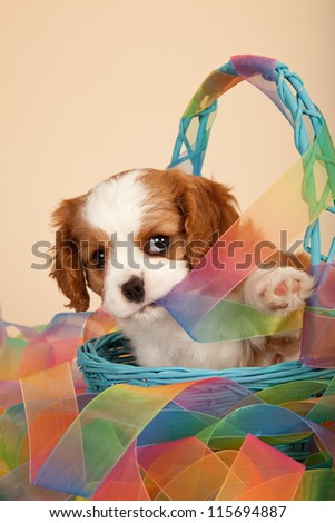 Cavalier puppy sitting inside blue basket with tie-dye pattern ribbon on beige background - stock photo