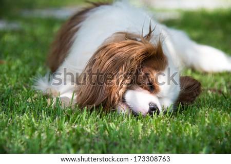 Cavalier sleeping on grass - stock photo
