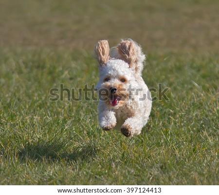Cavapoo puppy running. - stock photo