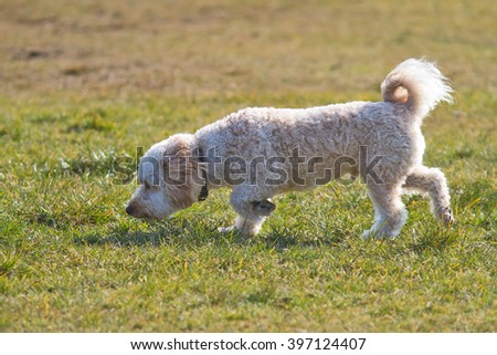 Cavapoo puppy smelling the grass. - stock photo