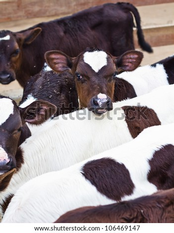 caws in stable feed time - stock photo
