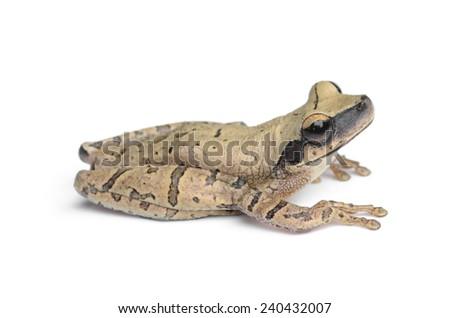 Cayenne slender-legged tree frog (Osteocephalus leprieurii) - stock photo