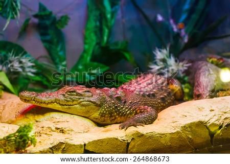 Cayman in the aquarium. Park. Donetsk. Ukraine - stock photo
