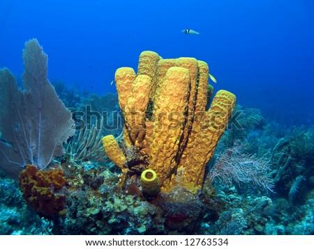 Cayman Island Yellow Tube Sponge on a Reef - stock photo