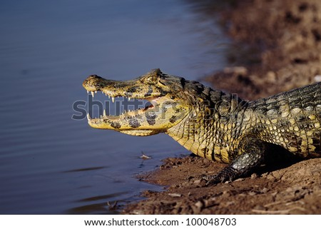 Cayman.open wide - stock photo
