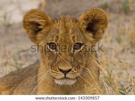 Cecil the Lion's Cub - stock photo