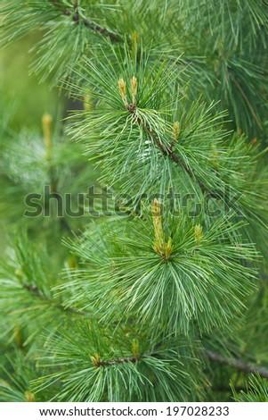 Cedar branch closeup - stock photo