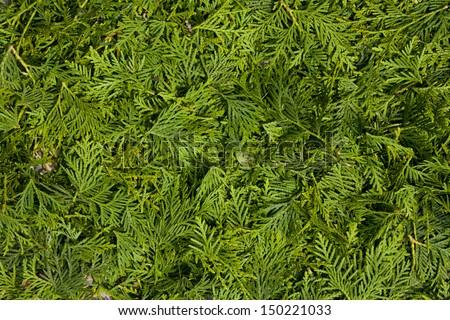 cedar, green background - stock photo