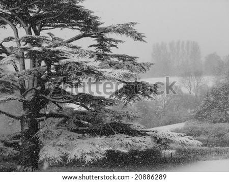 Cedar in a Snowstorm - stock photo