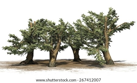 Cedar of Lebanon tree cluster - isolated on white background - stock photo