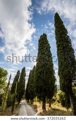 Cedar trees in row bordering a rural pebble road in Toscana, Italy - stock photo