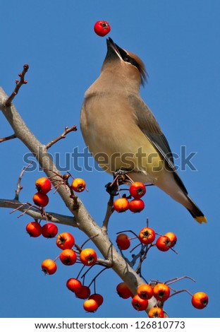 Cedar Waxwing Berry Toss A Cedar Waxwing tosses a red berry up into the air before catching and eating it. - stock photo