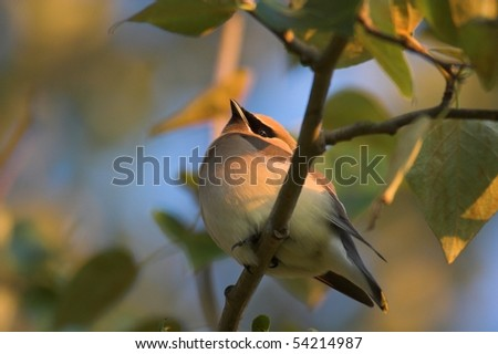 Cedar Waxwing bird  (Bombycilla cedrorum) - stock photo