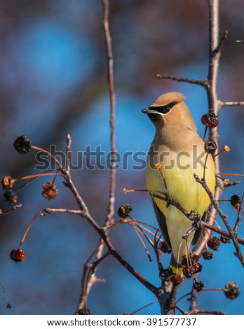 Cedar Waxwing - Bombycilla cedrorum - stock photo
