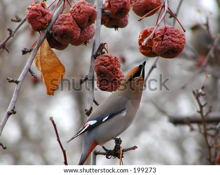 Cedar waxwing feeding on last fall's crabapples - stock photo
