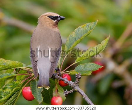 Cedar-Waxwing in a Cherry Tree - stock photo