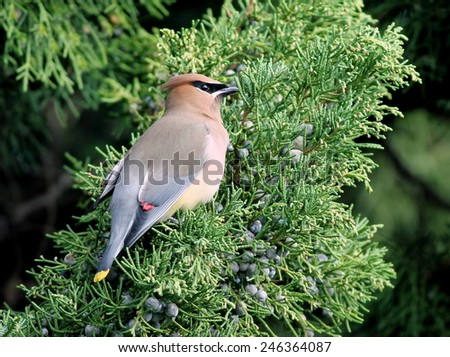 Cedar Waxwing on Juniper - stock photo
