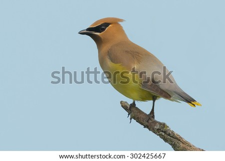 Cedar Waxwing perched on a dead branch. - stock photo