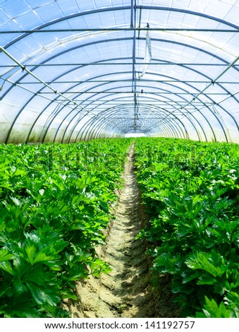 Celery culture in a greenhouse - stock photo