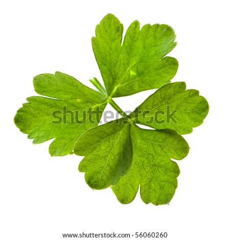 Celery isolated on white - stock photo
